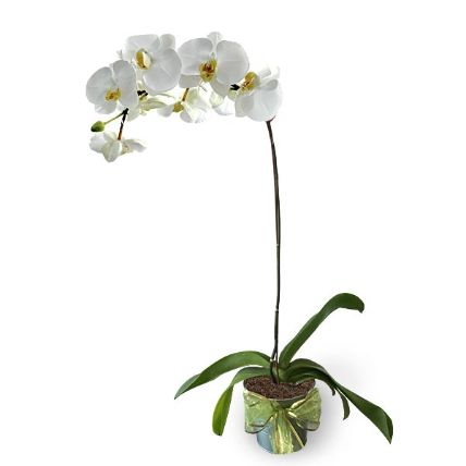 White Phalaenopsis Potted Orchid: Plant Nursery Malaysia