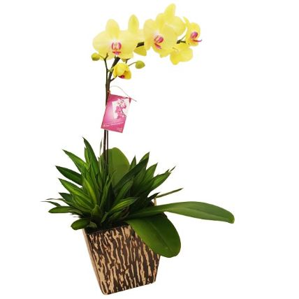 Yellow Phalaenopsis Orchid In A Pot